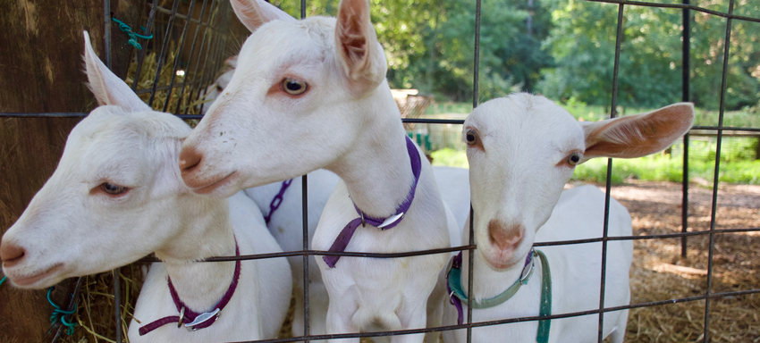 Three goats at Decimal Farms