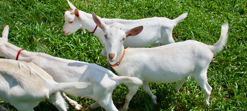 Happy goats in the pasture