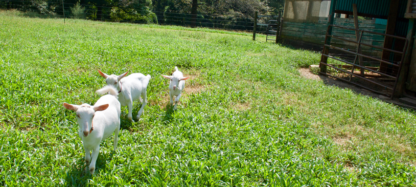 Goats running in the pasture