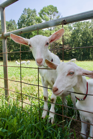 Two adorable goats